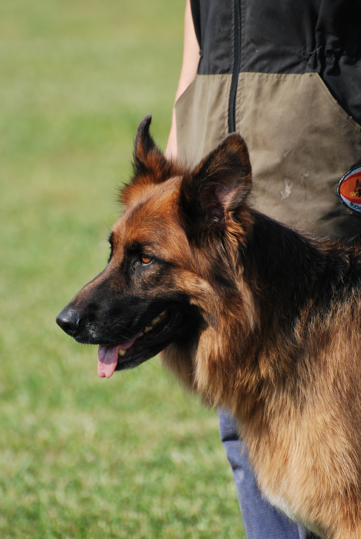 canine-belle-gssarda-illinois-german-shepherd-search-and-rescue
